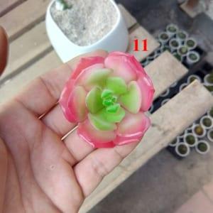 Cây nhựa hoa nhựa