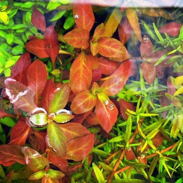 Cây thủy sinh diệp tài hồng lá táo
