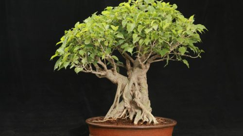 Image result for Ficus racemosa bonsai
