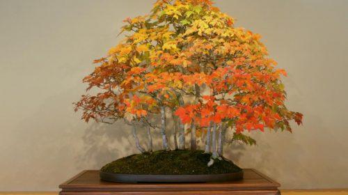 Phong Lá Đỏ, Acer rubrum